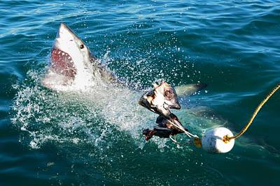 Biting Photograph - Shark Attack by Andrea Cavallini