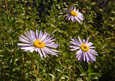 Photograph - Shark Bay Daisy by Tony Brown