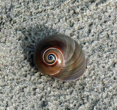 Gerald Monaco Photograph - Shark Eye Moon Shell by Gerald Monaco