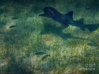 Photograph - Shark Mexico Rocks Ambergris Caye by David Zanzinger