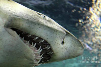 Photograph - Shark Ready by Nina Silver