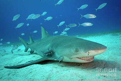 Photograph - Shark Smiles by Aaron Whittemore