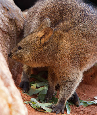 Photograph - Sharp Claws Of Quokka by Miroslava Jurcik