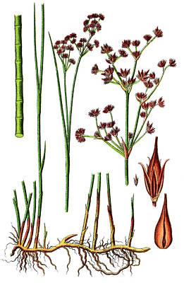 Water Droplets Sharon Johnstone - Sharp-flowered Rush, Juncus acutiflorus by Heinz Tschanz-Hofmann
