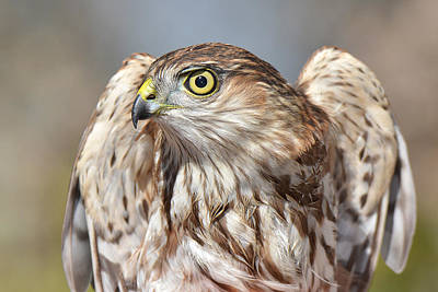 Photograph - Sharp-shinned Hawk by Alan Lenk