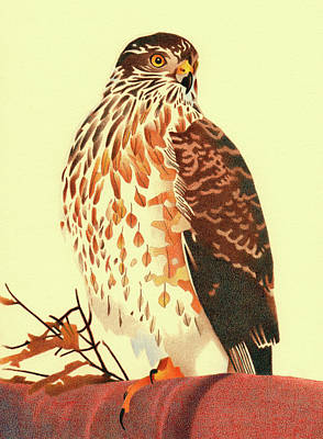 Drawing - Sharp-shinned Hawk by Dan Miller