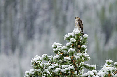 Photograph - Sharp-shinned Hawk by Dee Cresswell