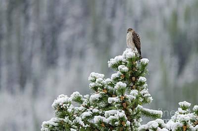 Photograph - Sharp-shinned Hawk by Dee Cresswell
