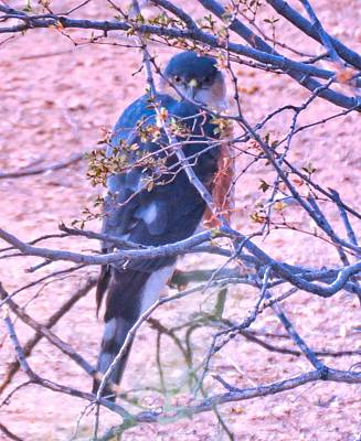 Photograph - Sharp-shinned Hawk Hunting In The Desert 2 by Judy Kennedy