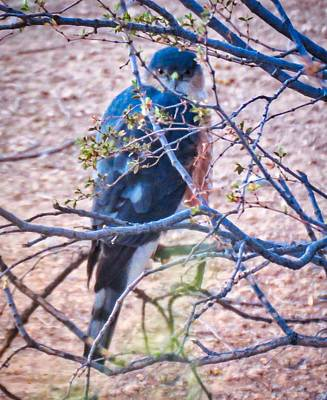 Photograph - Sharp-shinned Hawk Hunting In The Desert by Judy Kennedy
