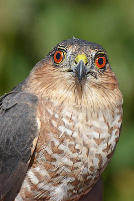 Photograph - Sharp-shinned Hawk Immature by Alan Lenk