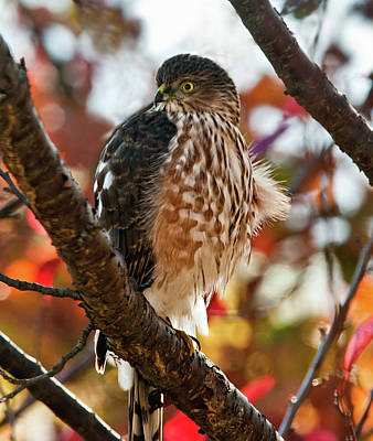 Photograph - Sharp-shinned Hawk In Autumn by Lara Ellis