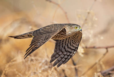 Photograph - Sharp-shinned Hawk In Flight by Loree Johnson