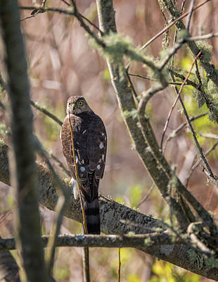 Photograph - Sharp Shinned Hawk In The Trees by Loree Johnson