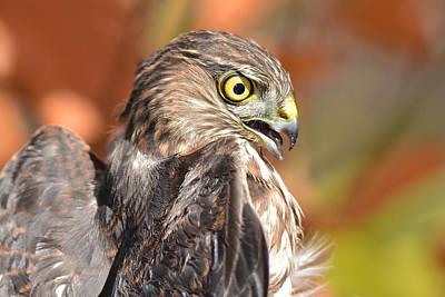Photograph - Sharp-shinned Hawk Intense by Alan Lenk