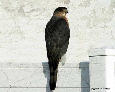 Photograph - Sharp Shinned Hawk by Jackson Pearson