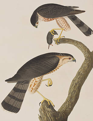 Dead Tree Drawing - Sharp-shinned Hawk by John James Audubon
