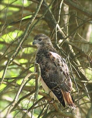 Photograph - Sharp-shinned Hawk Ll by Margie Avellino