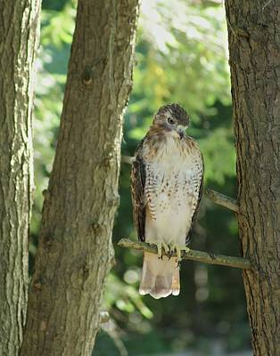 Photograph - Sharp Shinned Hawk by Margie Avellino