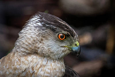Photograph - Sharp Shinned Hawk Portrait by Paul Freidlund