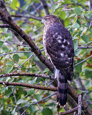 Photograph - Sharp-shinned Hawk by Tim Kathka