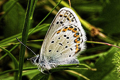Photograph - Shasta Blue Butterfly - Closed Wings by Josh Bryant