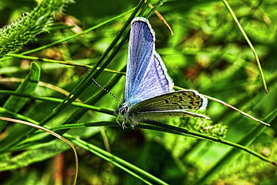 Photograph - Shasta Blue Butterfly by Josh Bryant