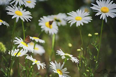 Photograph - Shasta Daisy by Steph Gabler