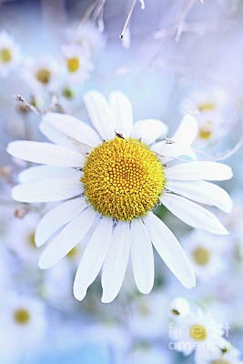 Photograph - Shasta Daisy by Stephanie Frey