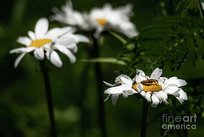 Photograph - Shasta Daisy With Beetle by Paul Mashburn