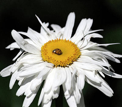 Shasta Daisy With Ladybug In Watercolor II Original by Suzanne Gaff