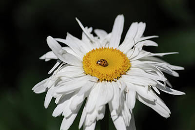 Photograph - Shasta Daisy With Ladybug by Suzanne Gaff