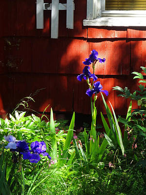 Photograph - Shasta Iris by Jacqueline  DiAnne Wasson