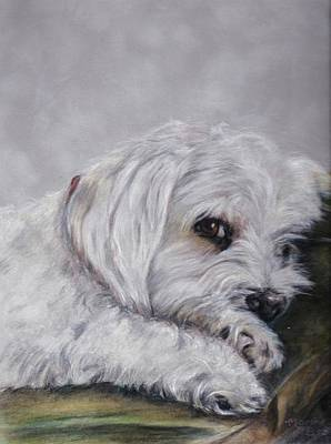Maltese Drawing - Shasta by Marchelle Brotz