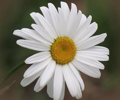 Photograph - Shasta White - Daisy by MTBobbins Photography