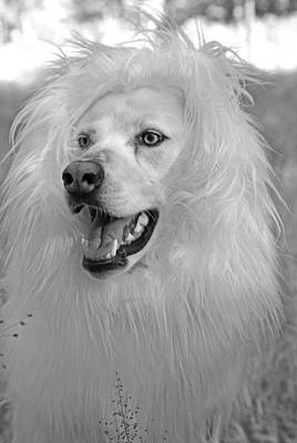 Photograph - Shasta White Lion Dog by Robyn Stacey