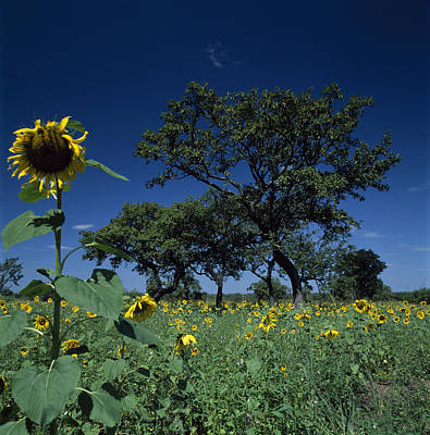 Shea Trees Intercropped With Sunflowers Art Print by David Pluth