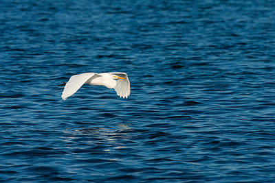 Photograph - Sheer Elegance - Flight Of A Great Egret by Ram Vasudev