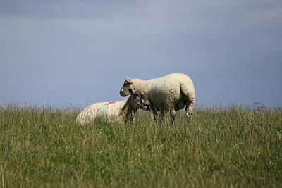 Photograph - Sheep 4221 by John Moyer