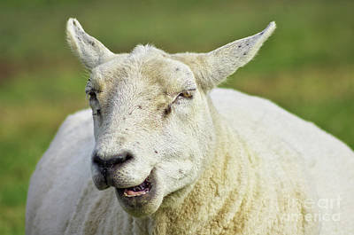Photograph - Sheep by Angela Doelling AD DESIGN Photo and PhotoArt