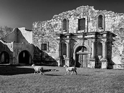 Photograph - Sheep At Alamo Bw by Charles McKelroy