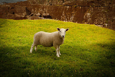 Photograph - Sheep by Avril Christophe