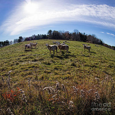 Photograph - Sheep, Brunswick, Maine  -84554 by John Bald