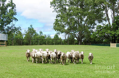 Photograph - Sheep Coming Home by Susan Vineyard