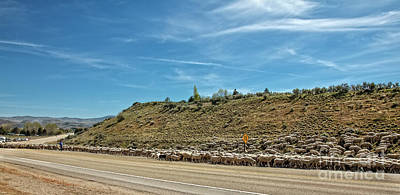 Photograph - Sheep Drive by Robert Bales
