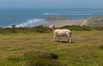 The Gower Photograph - Sheep Enjoying The View On The Gower Coast Rhossili Beach South Wales Uk With Sh by Michael Charles