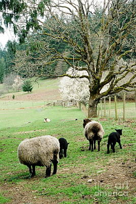 Photograph - Sheep Farm by Frank Townsley