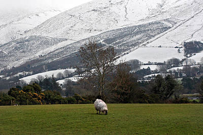 Grazing Snow Photograph - Sheep Grazing Atthe Galtees  Ireland's Tallest Inland Mountains by Pierre Leclerc Photography