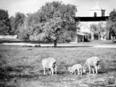 Photograph - Sheep Grazing Black And White by Charles McKelroy