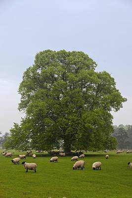 Photograph - Sheep Grazing On The Grass by John Short